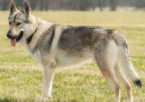 Wolfhund – Tschechoslowakischer
