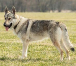 Wolfhund - Tschechoslowakischer canivaris