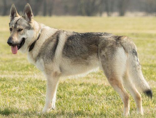 Tschechoslowakischer Wolfhund Jetzt Im Rassenportfolio