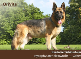 Genetest Deutscher Schäferhund-Hypophysärer Kleinwuchs-Gehirn