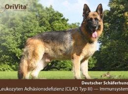 Gentest Deutscher Schäferhund-Leukozyten-Adhäsionsdefizienz (CLAD Typ III)