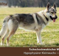 OriVita-schaeferhund-tschech-kleinwuchs