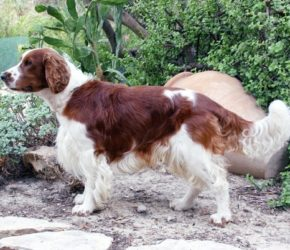 Welsh Springer Spaniel-canivaris