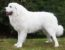 Polnische Tatra-Schäferhund Jetzt Im Rassenportfolio