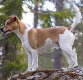 Dänisch-Schwedische Farmhund
