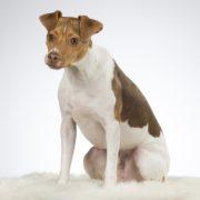 Terrier Brasileiro-Fox Paulistinha-canivaris