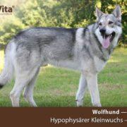 saarloos-wolfhund-kleinwuchs-orivita