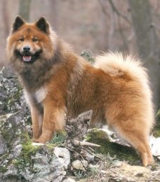 Eurasier-CaniVaris