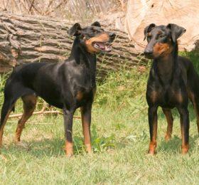 Manchester Terrier  (Canis lupus familiaris).