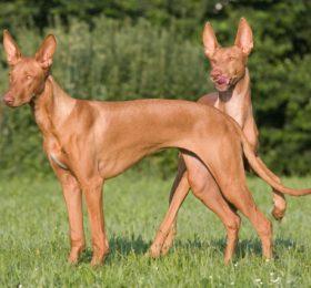 Pharaonenhund-Kelb-tal-Fenek, Pharaoh Hound