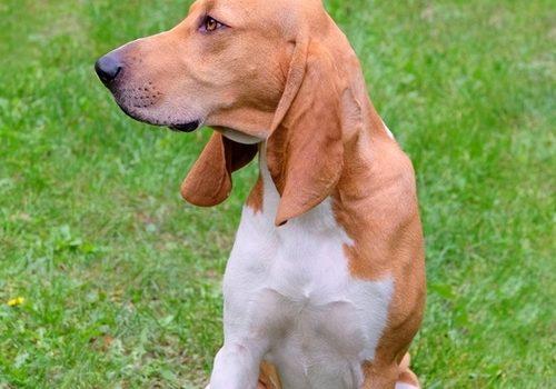 Schweizer Laufhund-Schwyz Hound