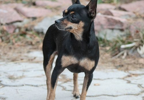 Russischer Toy Terrier