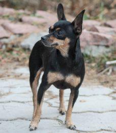 Russischer Toy Terrier-Canivaris