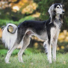 Saluki-Persischer Windhund-Canivaris
